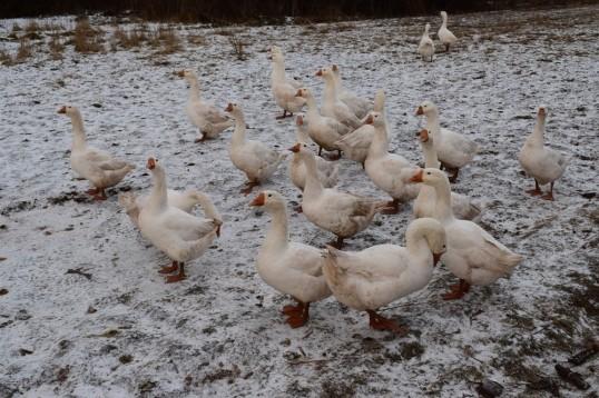 «Праздник  гусиного пера» в Кунгурском районе