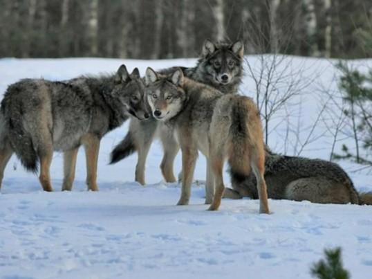 6 волков загрызли 3 собаки